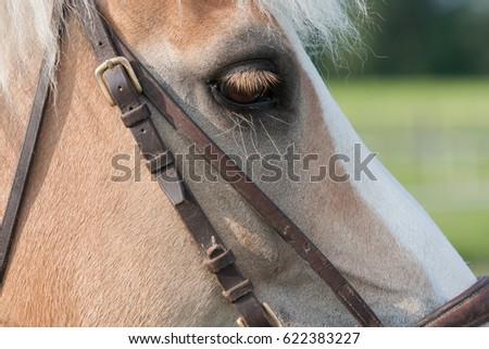 Close up of horse head , stallion horse breed haflinger.