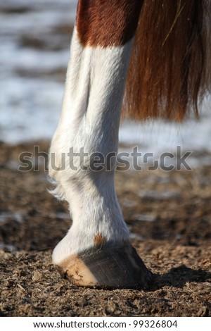 Close up of horse hind leg - stock photo