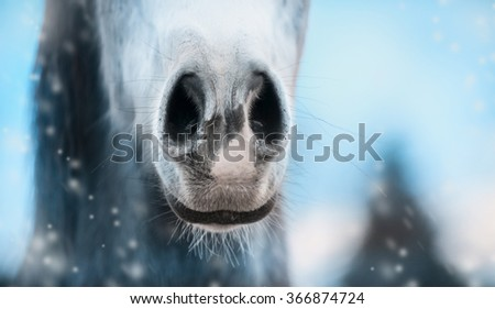 Close up of horse nose on winter  blurred nature background, banner.  - stock photo