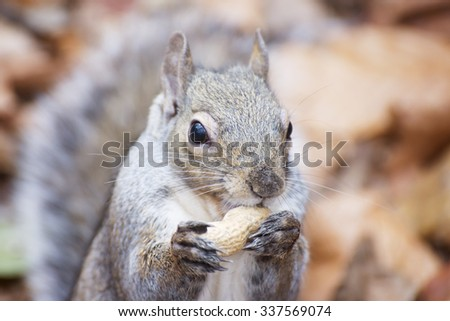 Close up of hungry squirrel eating a peanut