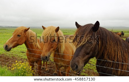 Close up of Icelandic horses seen on the Golden Circle tour in Iceland