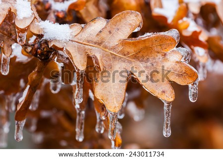Close up of icicles on the oak leaves - stock photo