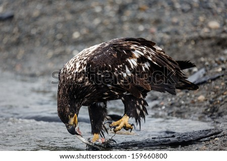 Close-up of immature bald eagle claws  extended, eating a salmon at water's edge in Alaskan wilderness - stock photo