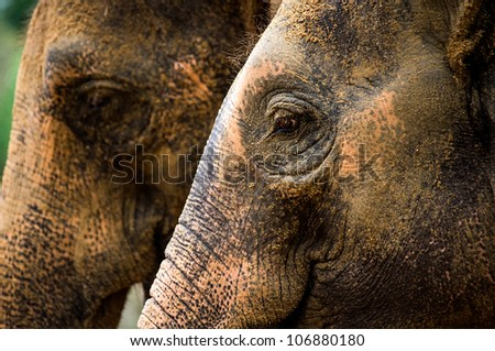 close up of indian elephant showing eye and skin texture/Elephant