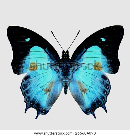 Close up of Indian Nawab butterfly upper wing part in natural color with brown spots on wings isolated on white background