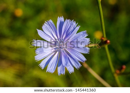 Close up of inflorescence of wild chicory - stock photo