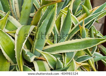 close up of interleaved leaves of succulent plant agave americana - stock photo