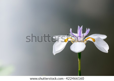 Close up of iridaceae flower      - stock photo