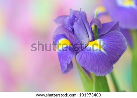 Close-up of  iris flower - stock photo