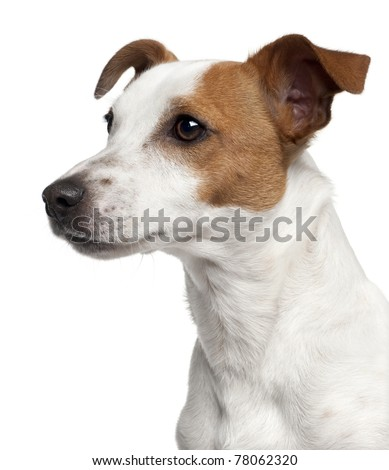 Close-up of Jack Russell Terrier, 10 months old, in front of white background - stock photo