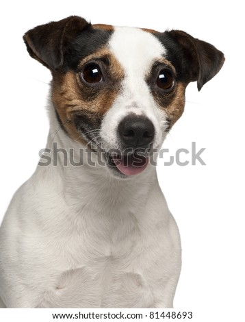 Close-up of Jack Russell Terrier, 3 years old, in front of white background