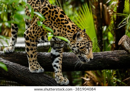 Close up of jaguar, Panthera onca, climbing over a log