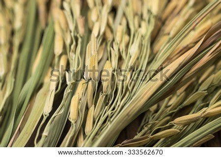 Close up of jasmine rice grains and leafs with selective focused point for food background - stock photo