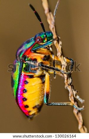 Close up of Jewel Bug in the nature - stock photo