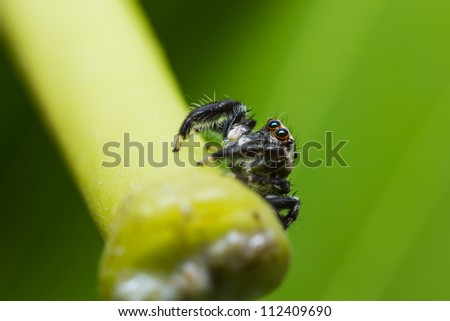 close up of jumper spider on green leaf