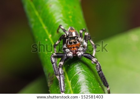Close up of jumping spider on green leaf as its habitat