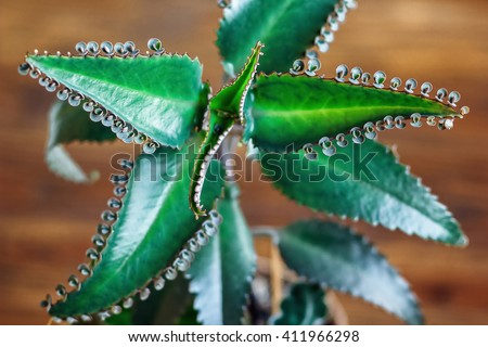 Close up of Kalanchoe pinnata plant. Bryophyllum daigremontianum, also called Mother of Thousands, Alligator Plant, or Mexican Hat Plant (Kalanchoe daigremontiana). Medicinal plant. - stock photo
