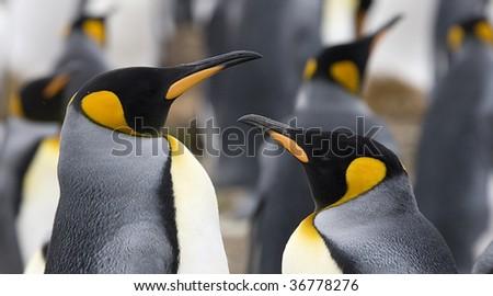 Close-up of king penguin (Aptenodytes patagonicus) couple at Volunteer Point, Falkland Islands - stock photo