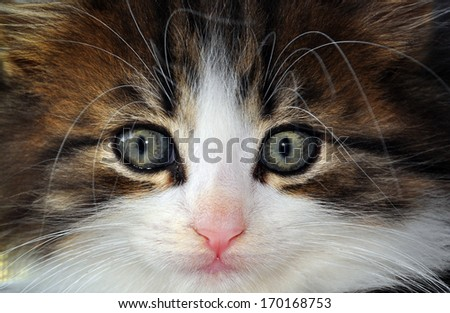 Close-up of Kitten's Face