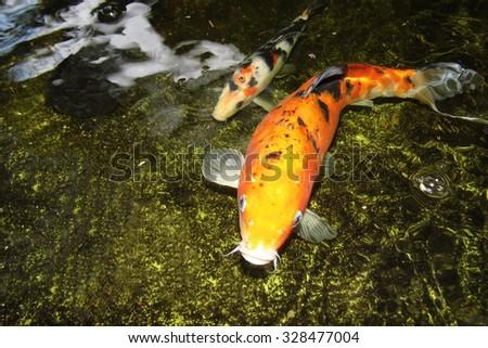 Koi fish stock photo 587266781 shutterstock for Coy carp pond