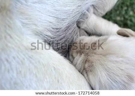 close up of labrador puppies suckling - stock photo