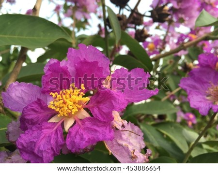 Close up of Lagerstroemia speciosa or tabak tree in Thailand,Perennial plant bloom one time per year. violet flower in Thailand