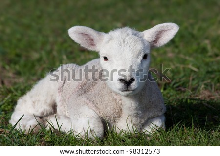 Close-up of lamb lying in field