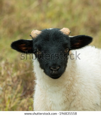 Close-up of lamb of breed Black-faced Sheep - stock photo