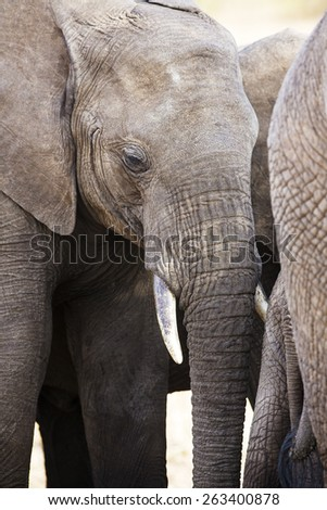 Close up of large african elephant in Tanzania