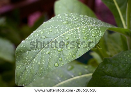 Close up of large green tobacco leaf covered with rain drops at later afternoon.