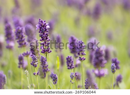 Close up of lavender  - stock photo