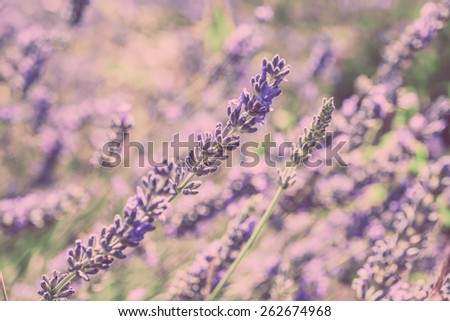 Close Up of Lavender field. Blur Filtered Shot with selective focus - stock photo
