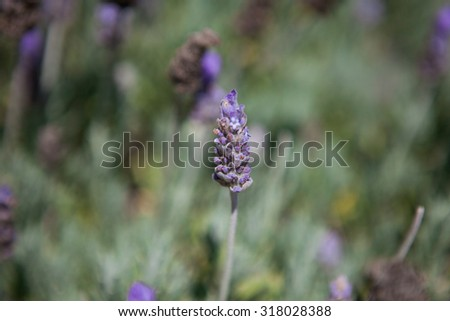 Close up of lavender field in the summer. Closeup of lavender flowers - stock photo