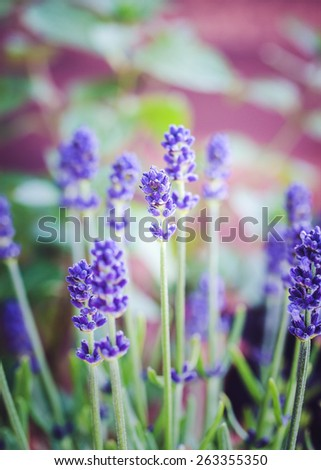 close-up of lavender plants. Selective focus. - stock photo