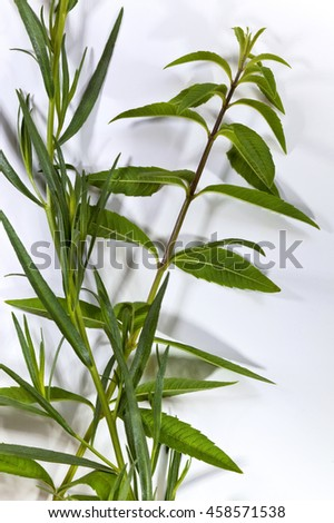 Close up of lemon verbena and tarragon on a white background - stock photo