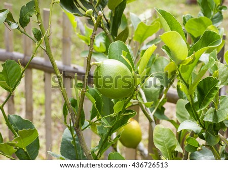 Close-up of lemons in lemon tree in spring and selective focus