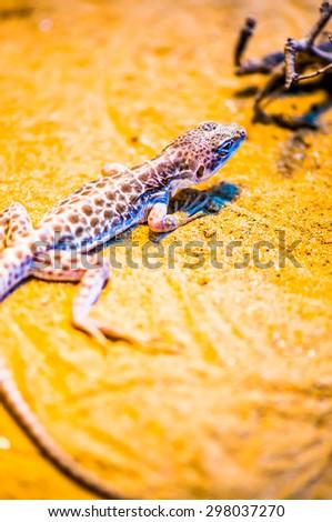 Close Up of Leopard Lizard, Thailand - stock photo