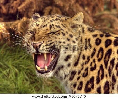 Close up of leopards head bearing teeth - stock photo