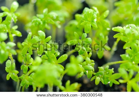 Close-up of Lepidium sativum or cress leaves of fresh sprouts growing - stock photo