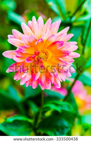 Close Up of Light Orange Dhalia Flower, Thailand. - stock photo