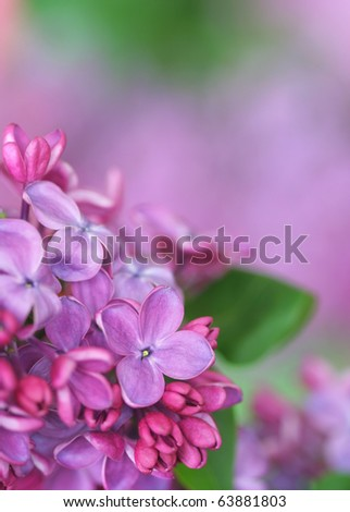 Close-up of lilac - stock photo