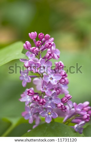 Close-up of lilac flowers over blurred green background