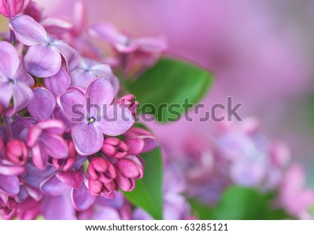 Close-up of lilac.See similar in my portfolio - stock photo