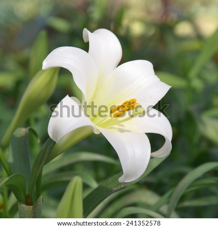 close up of lily flower - stock photo