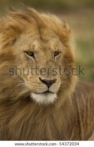 Close-up of Lion, Serengeti National Park, Serengeti, Tanzania, Africa - stock photo