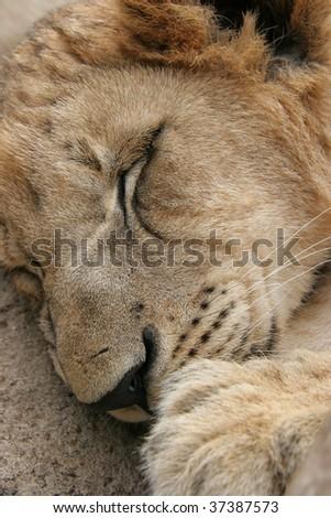 Close up of lion sleeping - stock photo