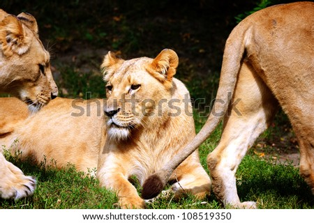 Close-up of Lioness - stock photo