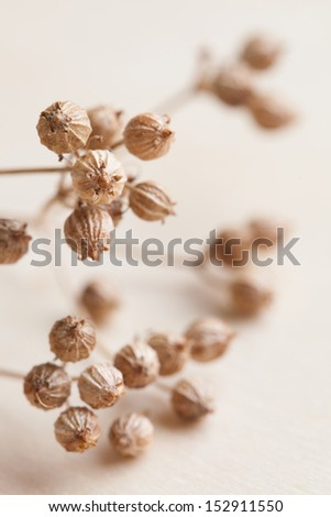 Close-up of little coriander seeds. Shallow dof - stock photo