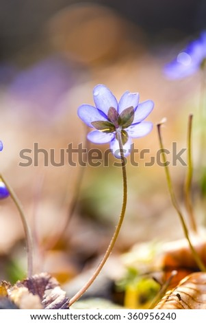 Close up of Liverworts flowers blooming in springtime european forest. Blue flowers close up. - stock photo