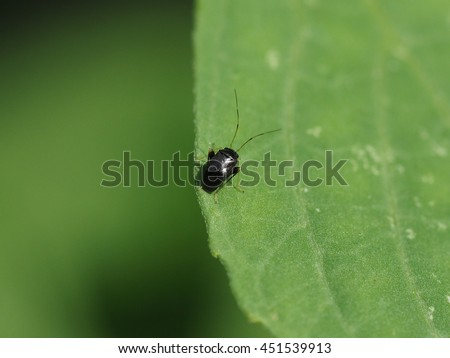 close up of long antenna tiny black bug perched on small green leaf under  sunslight. long Antennae  Stock Photos  Royalty Free Images   Vectors